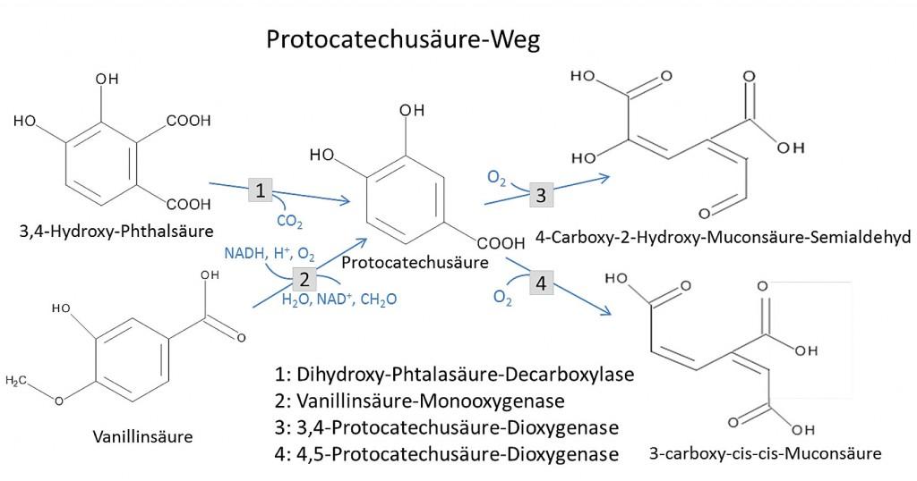 Neue Verfahren für die Ligninmodifikation am Beispiel der Natur ...