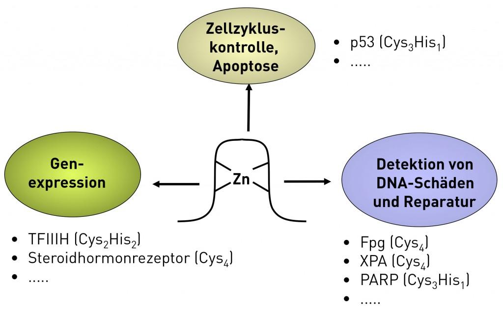 zelluläre struktur protein