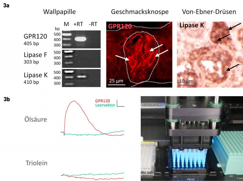 Nett Geschmacksknospe Diagramm Bilder - Menschliche Anatomie Bilder ...